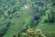 Tea Plantation, Ayder