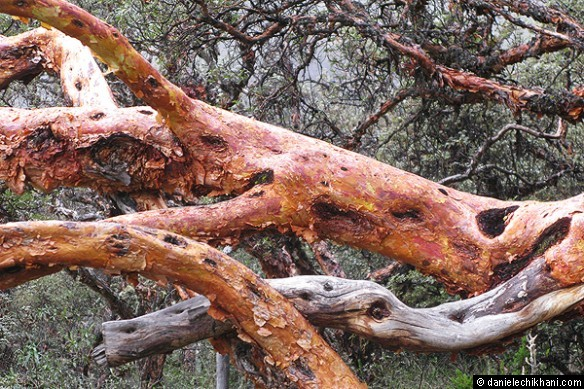 Quenuales, the native tree - Laguna Chinancocha (3850m) - Feminie Laguna