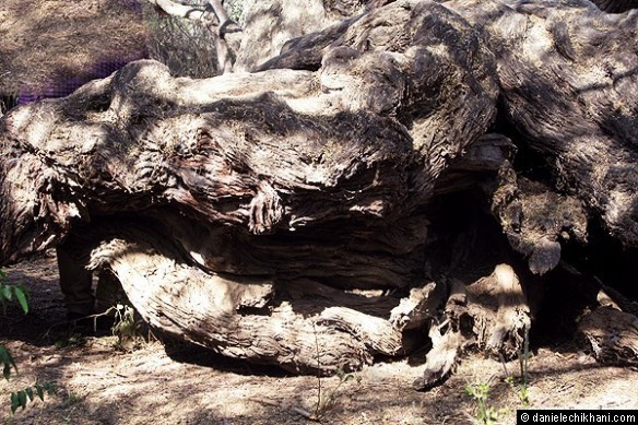 Bosque de Pomac - Algarrobo (Caroob Tree, 1000 years old)